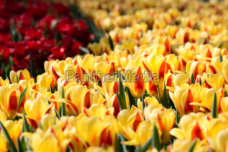 tulips, flowers, field - 14047561