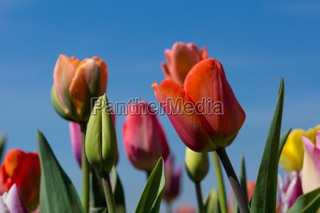 tulips - 14047387
