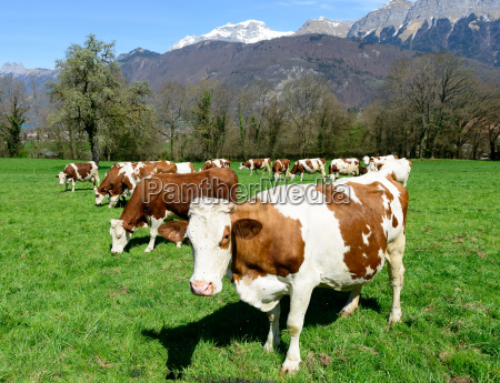 cows, in, a, meadow - 14048345