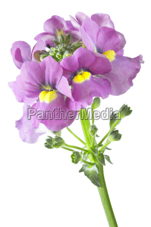 nemesia, (nemesia), on, white, background - 14048031