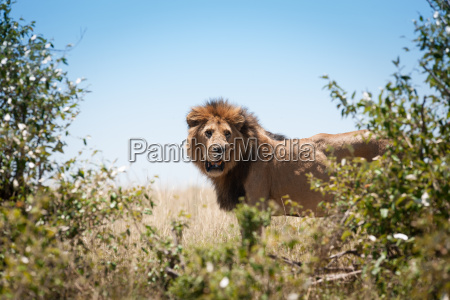 lion, in, the, savanna, of, africa - 14049915