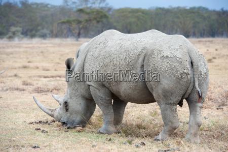 rhino - 14049901