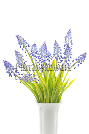 grape, hyacinths, on, white, background - 14050201