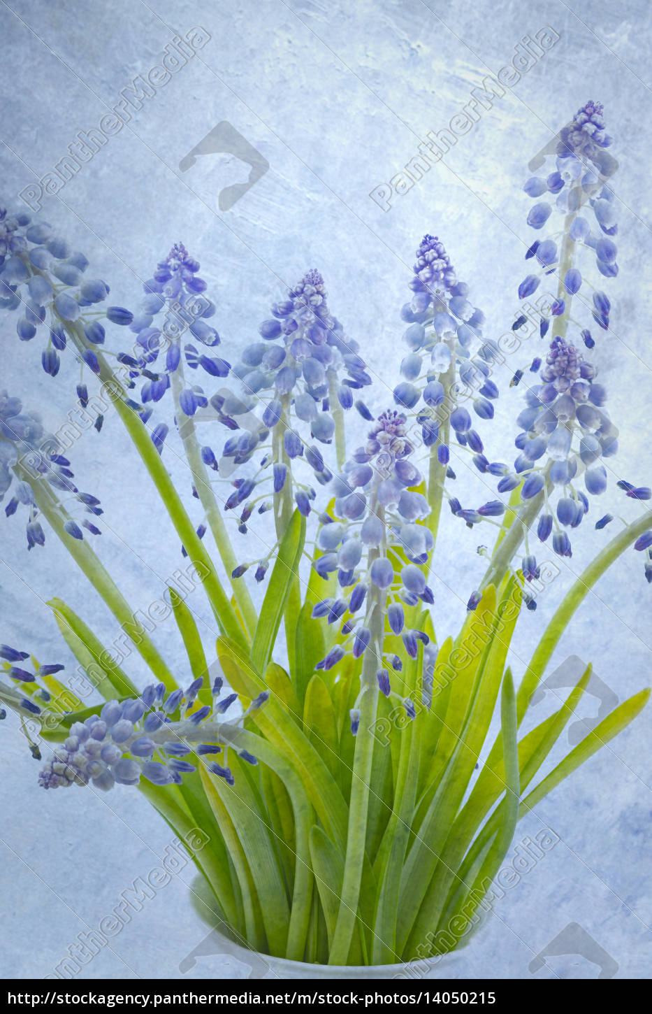 grape, hyacinths, with, superimposed, texture - 14050215