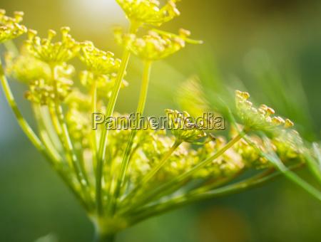 green, dill - 14050627
