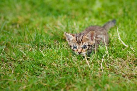 little striped kitten hiding in the