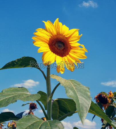 sunflowers, on, natural, sky, beackground - 14051987