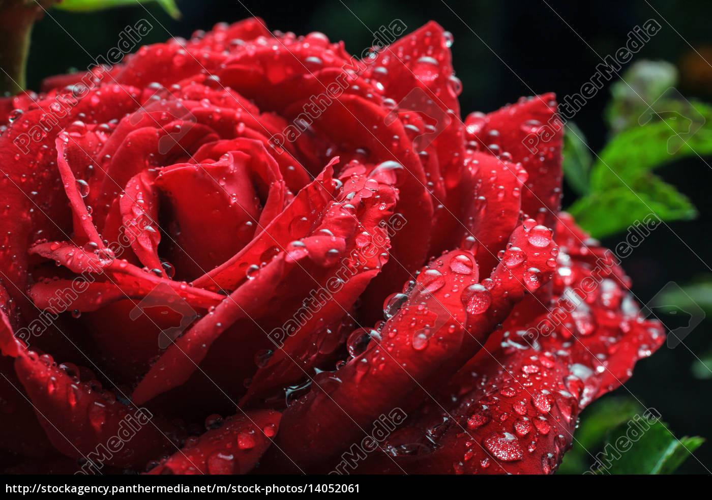dew, drops, on, rose - 14052061