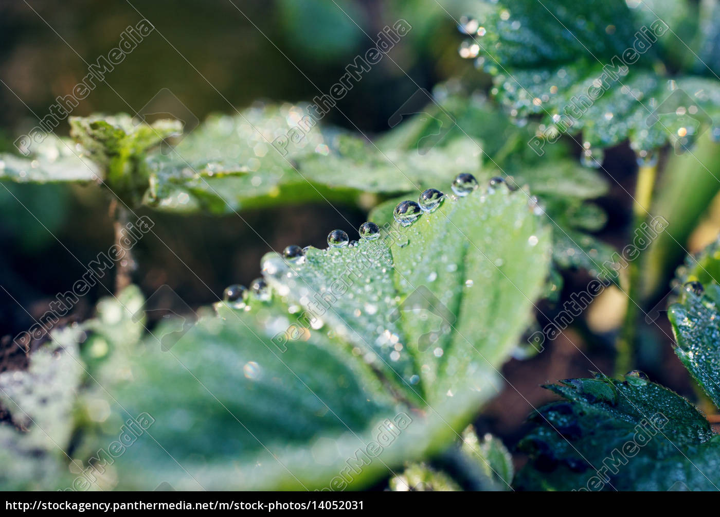 dew, drops, on, the, leaves, of - 14052031