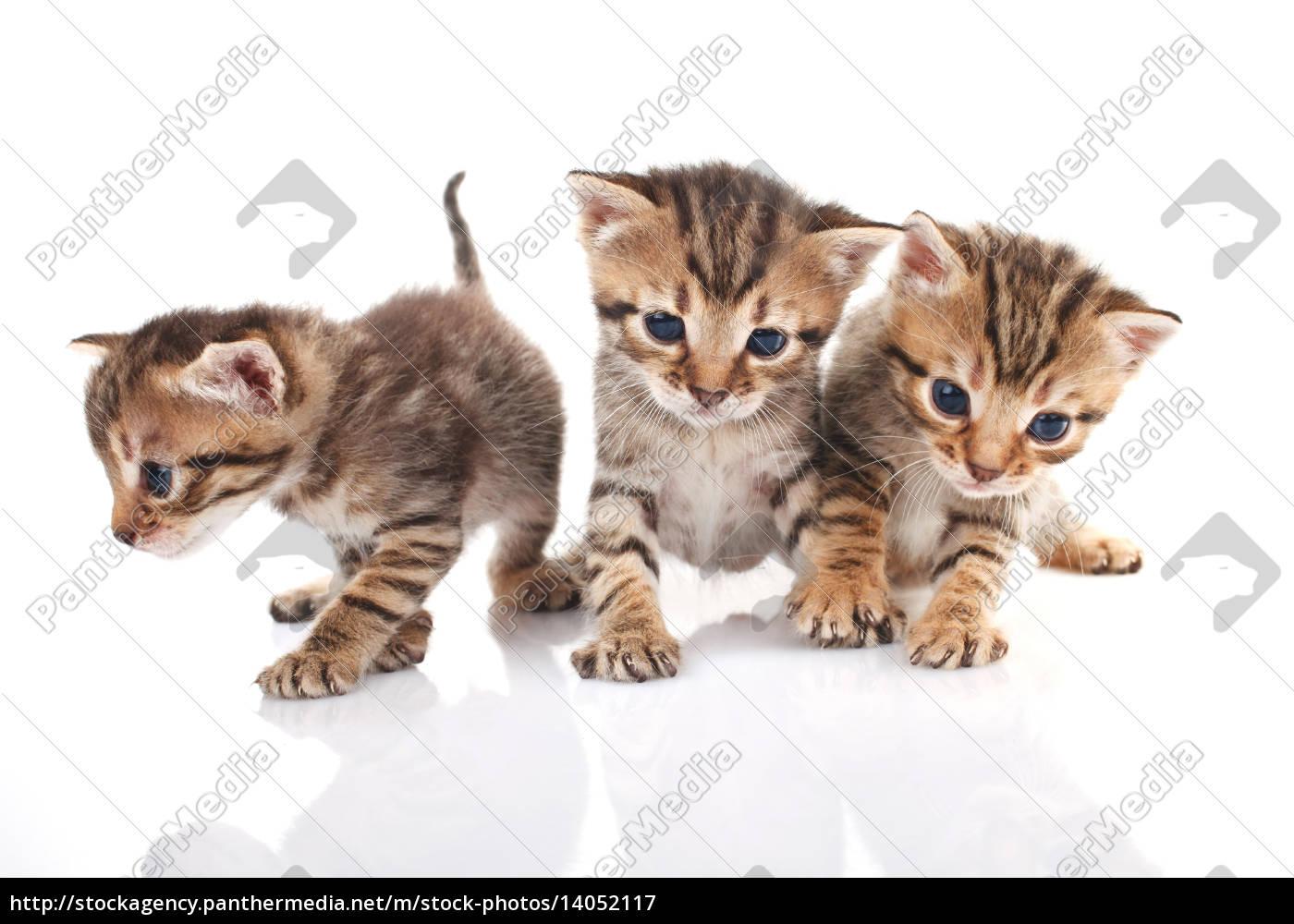 three, , kitten, isolated - 14052117