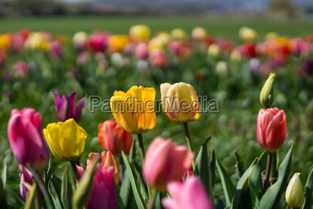 tulips - 14052709