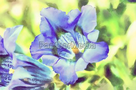 watercolor illustration of trumpet gentiana blue