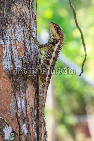 greater, spiny, lizard - 14055979