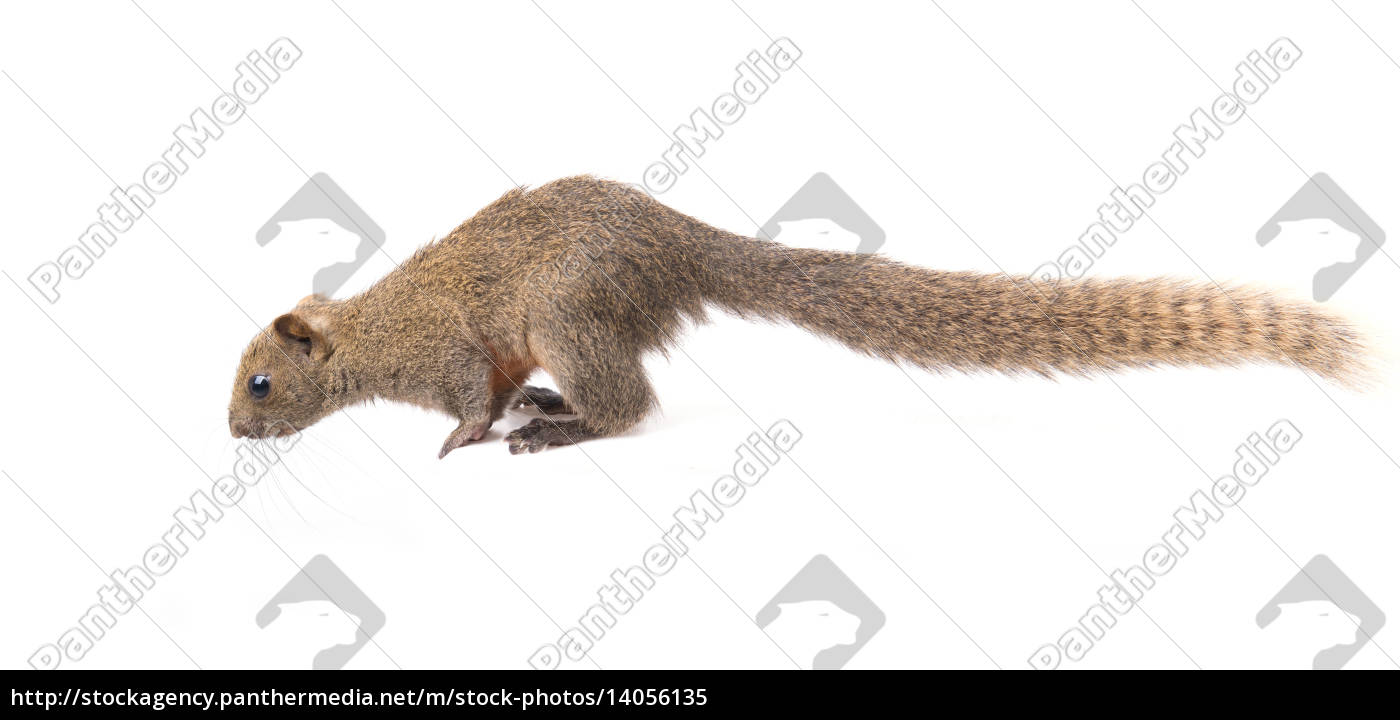 red-bellied, squirrel, isolated - 14056135