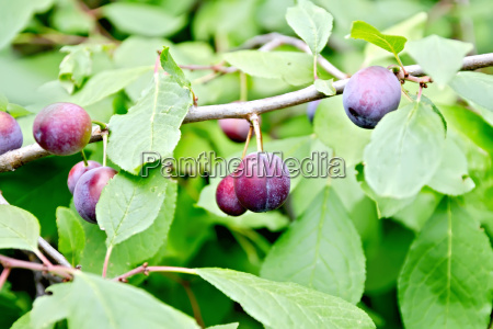 plums, purple, on, branch, with, green - 14058977