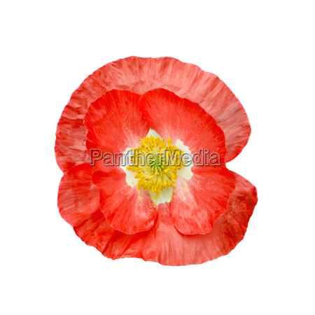 poppy, red, with, yellow, stamens - 14058857