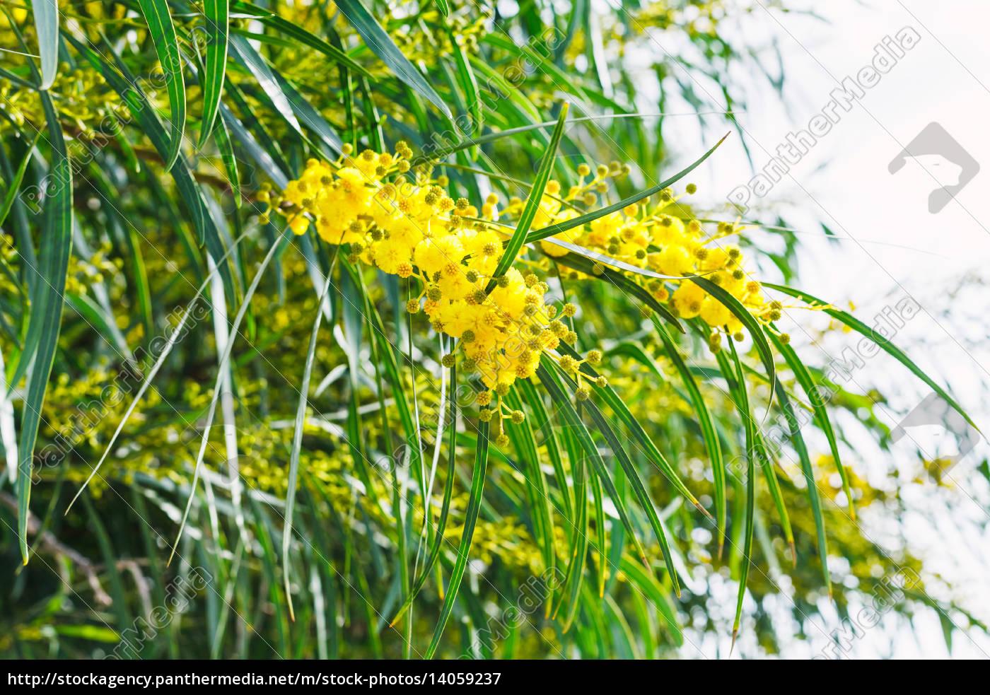 blossoming, of, mimosa, tree, (acacia), in - 14059237