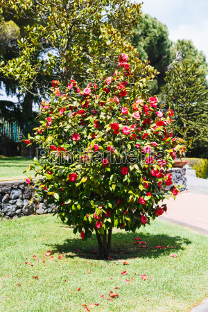 camellia, bush, with, pink, flowers, in - 14059383