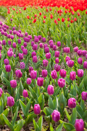 colorful, tulips, field - 14061591