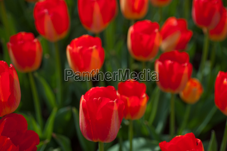 colorful, tulips, field - 14061631