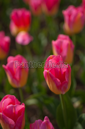 colorful, tulips, field - 14061651