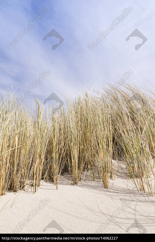golden, dune, grass, on, the, baltic - 14062227