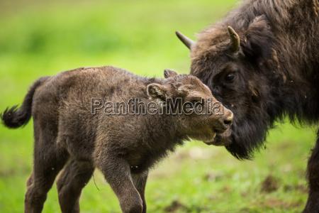 european bison bison bonasus