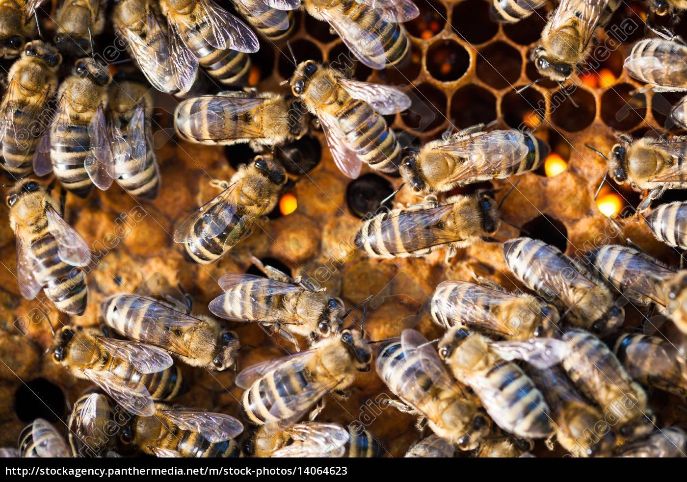 macro, shot, of, bees, swarming, on - 14064623