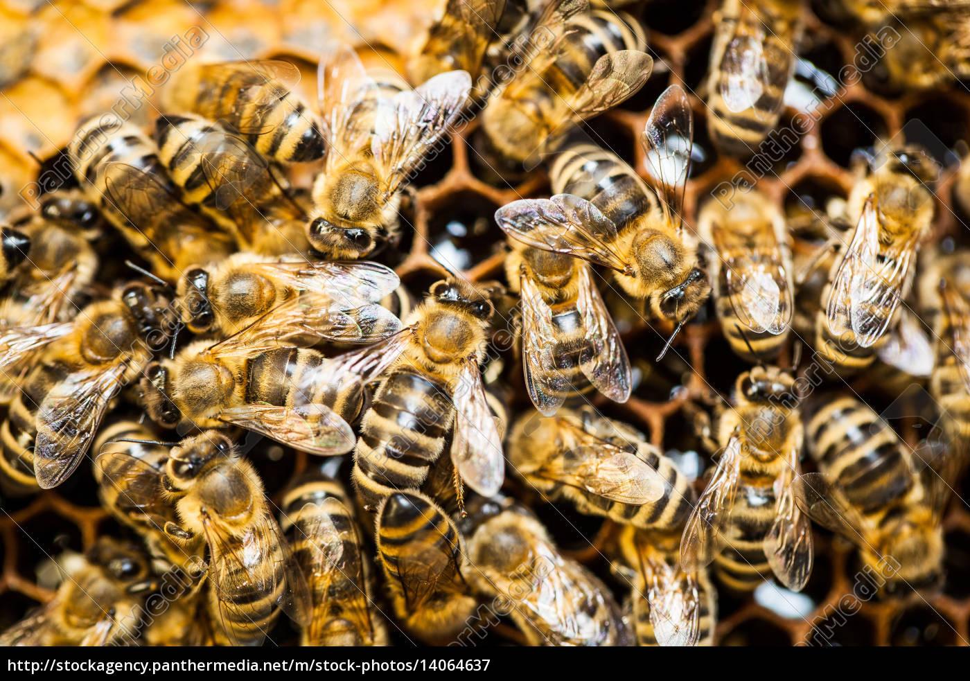 macro, shot, of, bees, swarming, on - 14064637