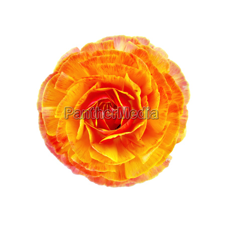 ranunculus, orange - 14064125