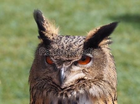 eagle, owl - 14066605