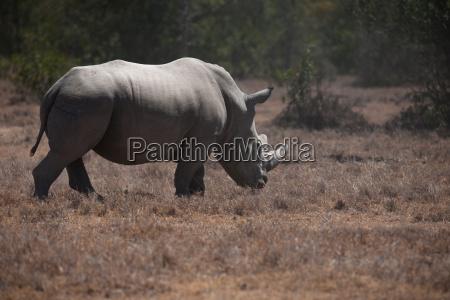 rhino - 14067145