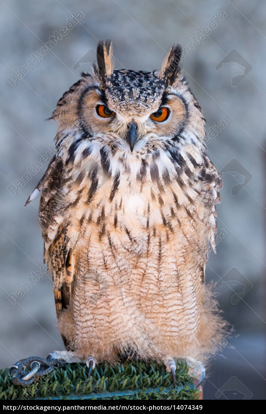 long-eared, owl, (asio, otus) - 14074349
