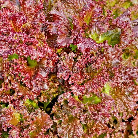 salad, red, texture, 1 - 14074935