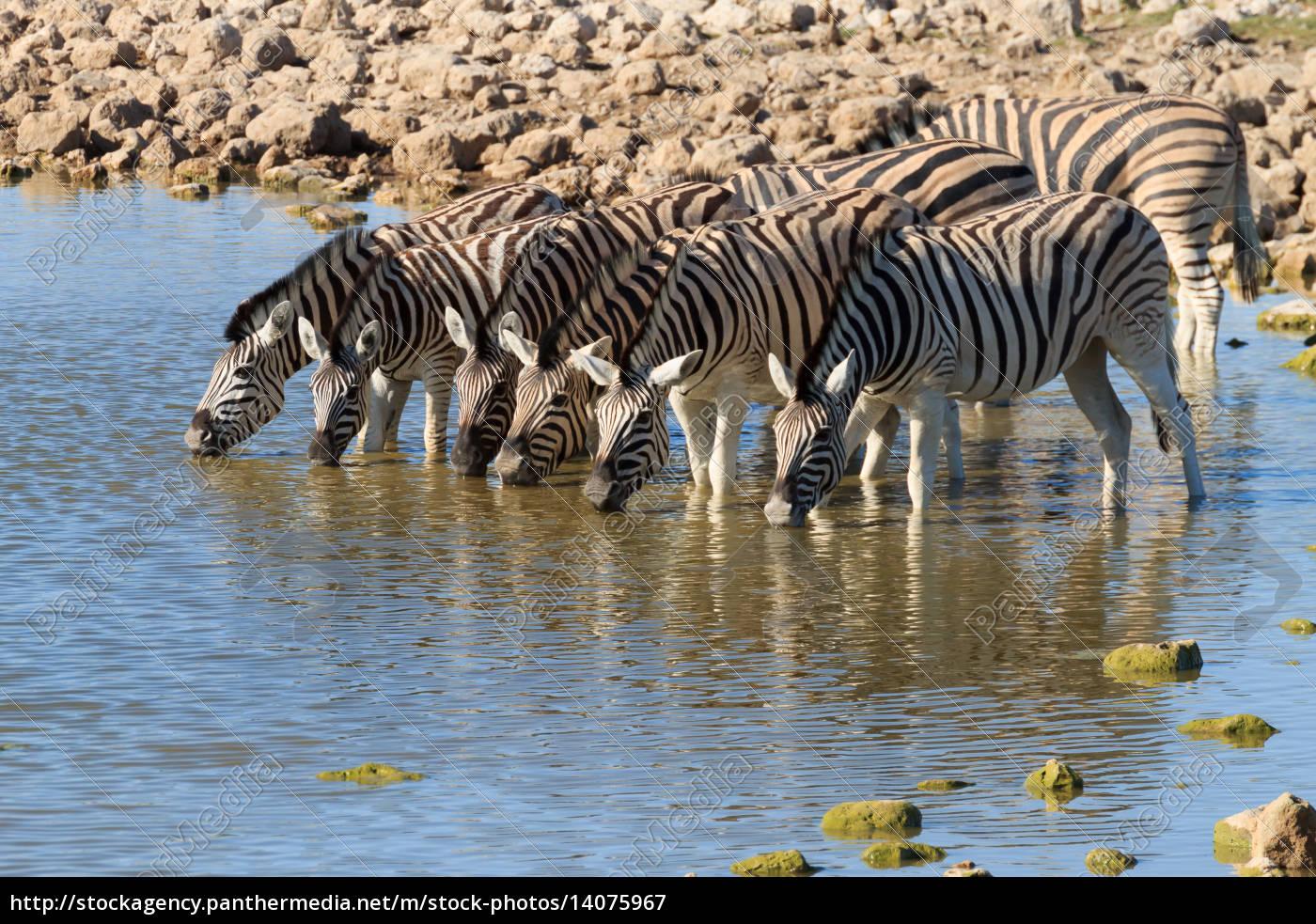 zebras, drinking - 14075967