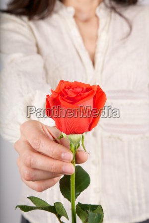 white, shirt, woman, offering, red, rose - 14077313