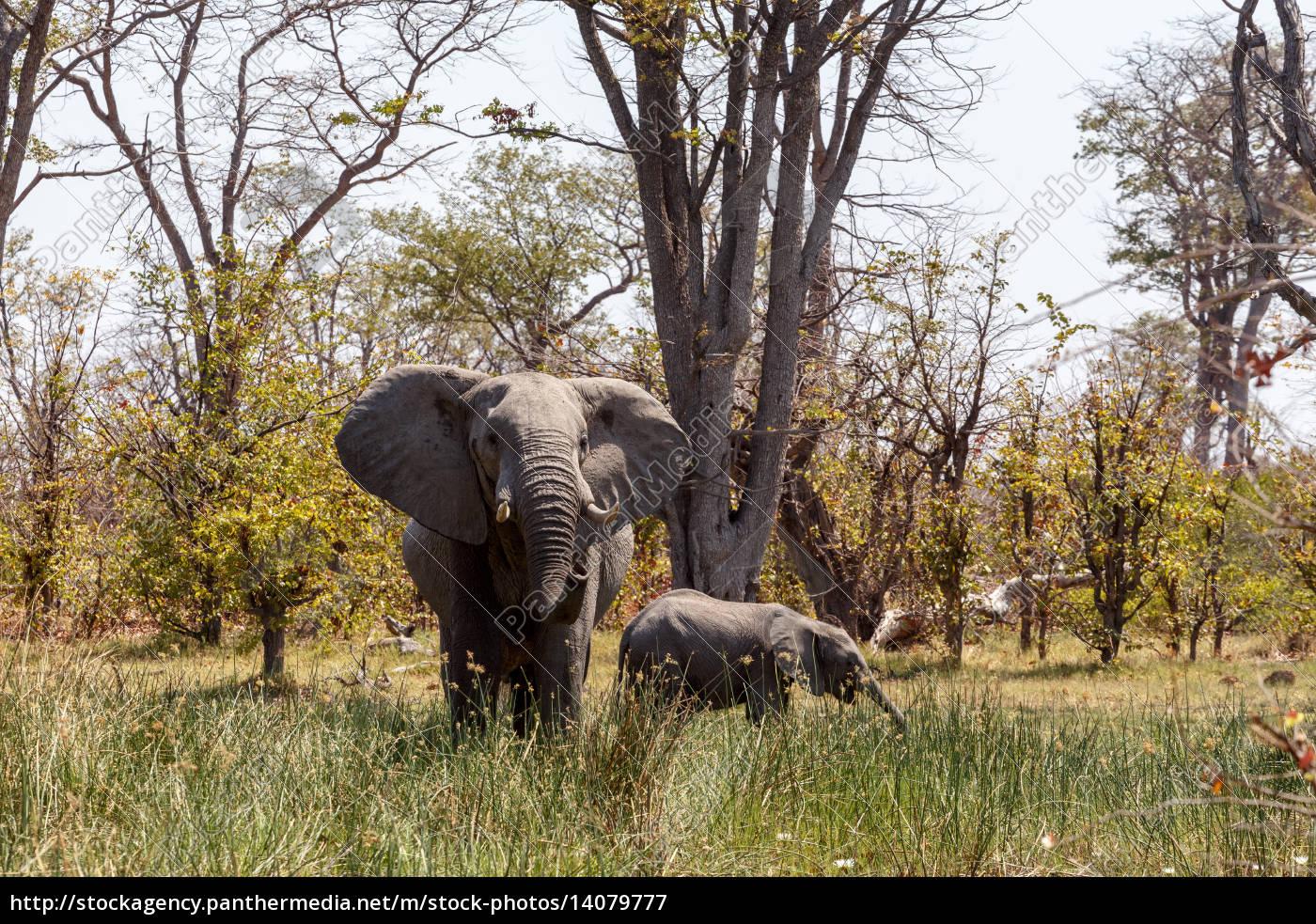 african, elephant, moremi, game, reserve, , okawango - 14079777