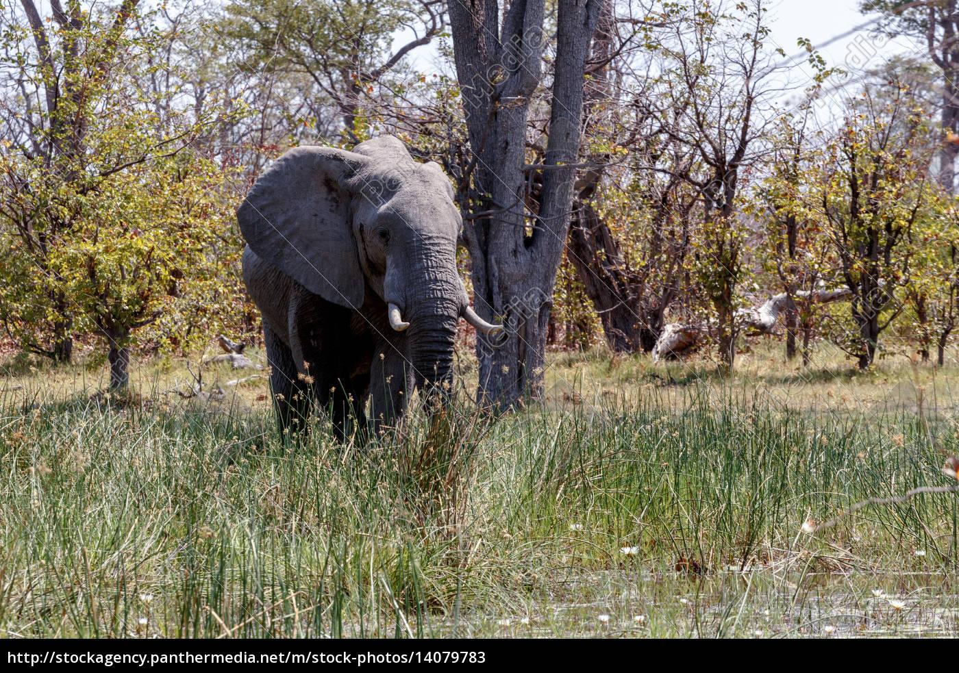 african, elephant, moremi, game, reserve, , okawango - 14079783