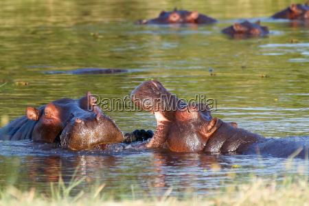 two, fighting, young, male, hippopotamus, hippopotamus - 14079771