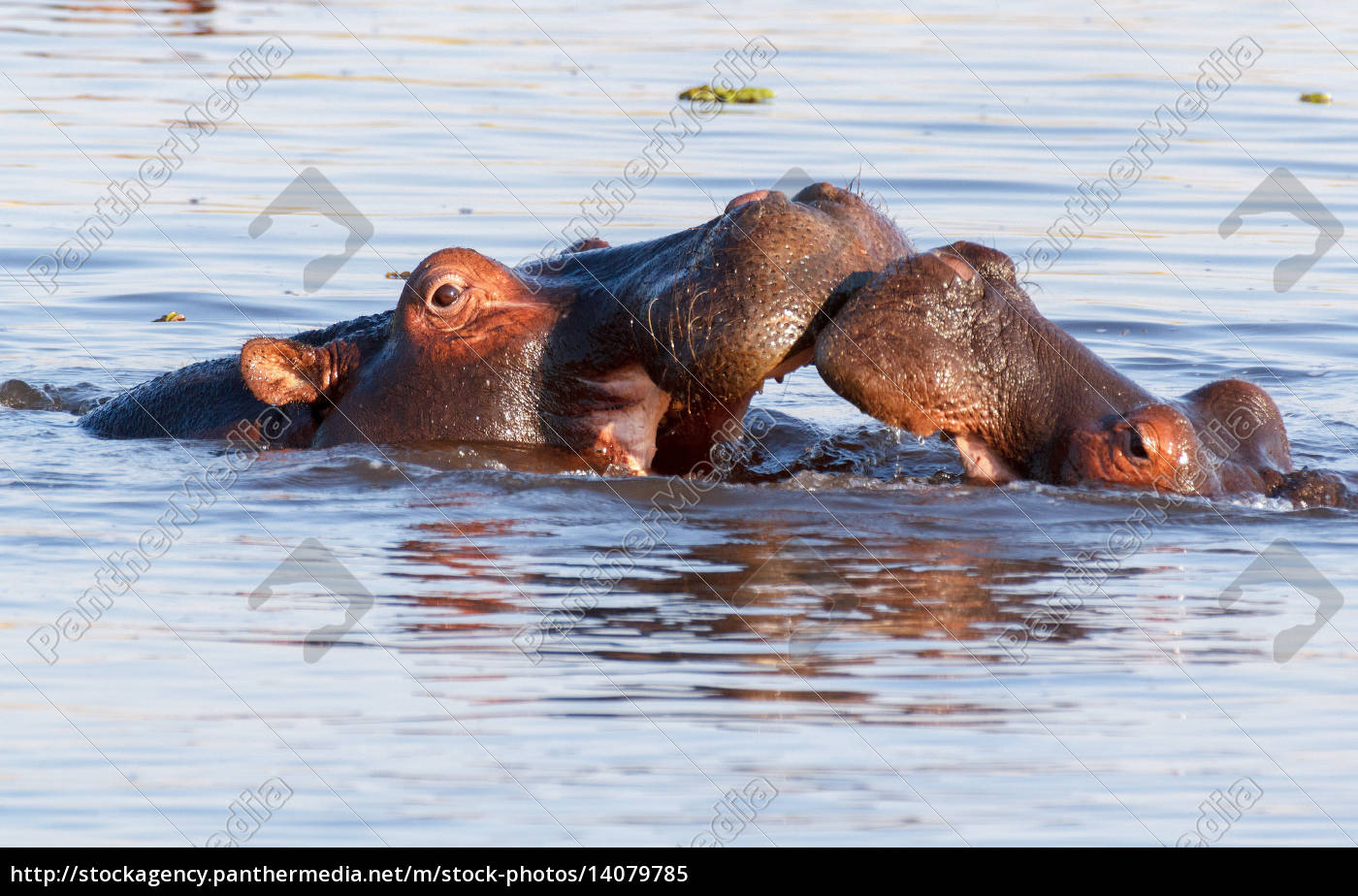 two, fighting, young, male, hippopotamus, hippopotamus - 14079785