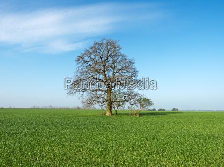 tree, agriculture, farming, field, oak, spring - 14082729