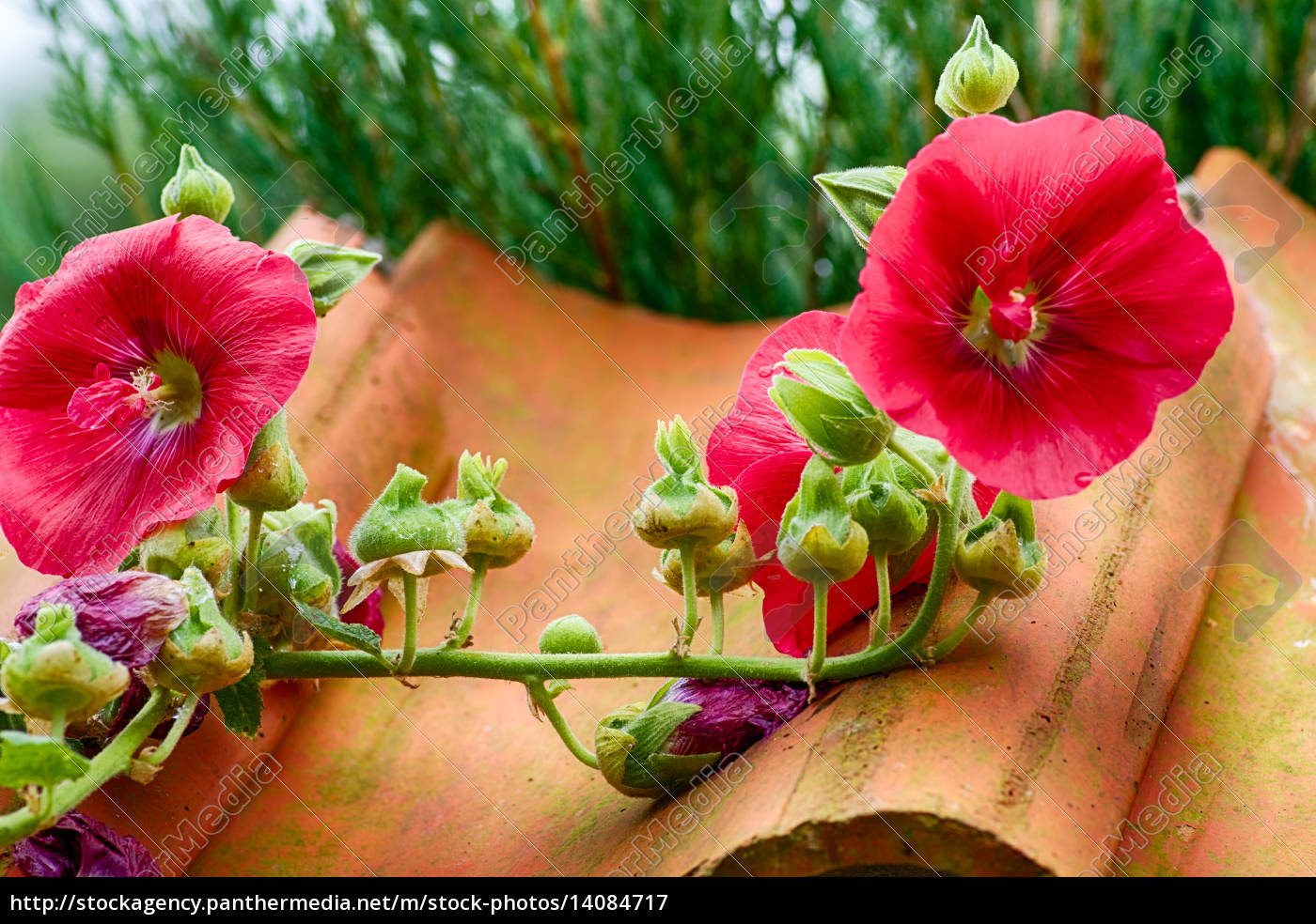 red, flower, of, a, mallow, plant - 14084717