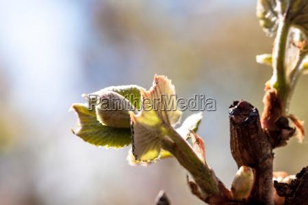 a vine leaf bud