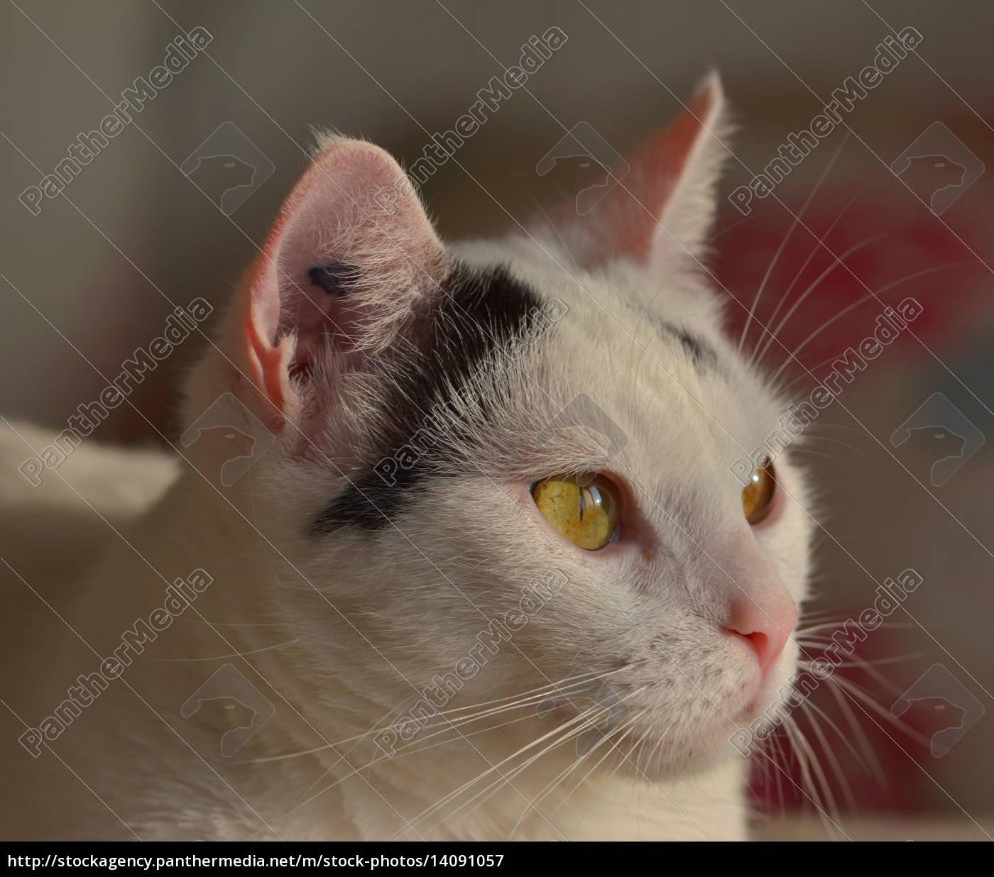 cat, maja - 14091057