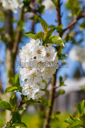 apple tree blossom against a blue