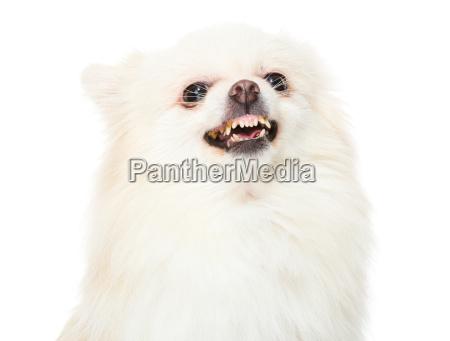 pomeranian, dog, feeling, angry - 14093513
