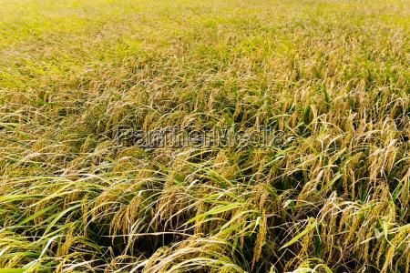 rice, field - 14093569