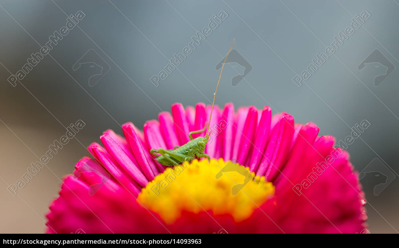 small, grasshopper, sitting, in, a, flower - 14093963