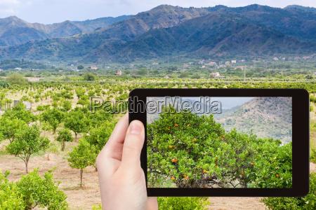 photo, of, tangerine, trees, in, sicily - 14094613