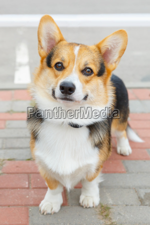 dog, pembroke, welsh, corgi, smiling - 14095779